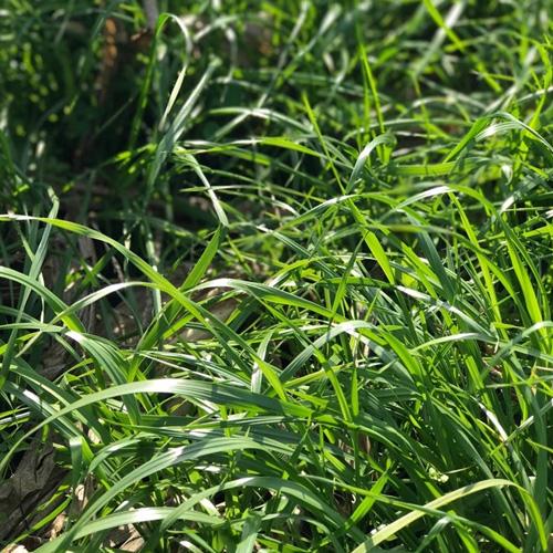 annual ryegrass, bruiser annual ryegrass seeds